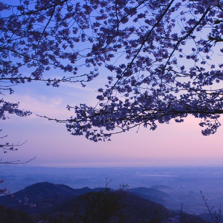 太平山の桜